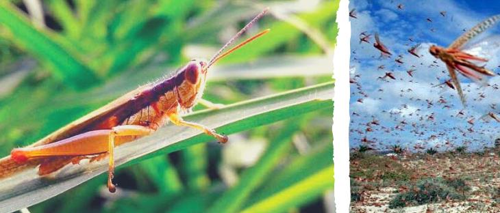 Locust in Gujarat, Tiddi