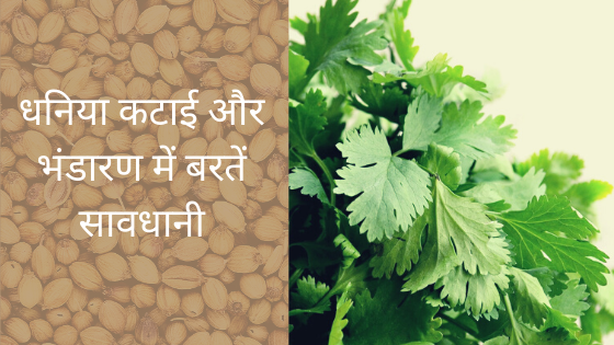 be careful in harvesting and storing coriander