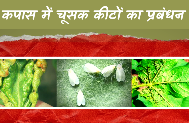 management of sucking pests in cotton crops